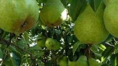 Чим корисна груша, як її застосовувати?