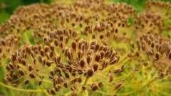 Корисні властивості насіння кропу