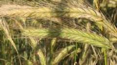 При яких захворюваннях лікує жито?