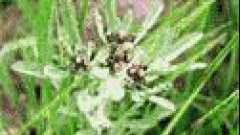 Сухоцвіт болотна
